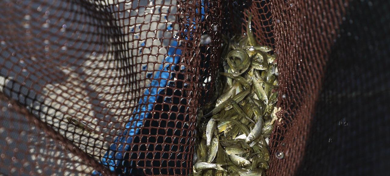 ۴۳۰ میلیون بچهماهی در منابع دریایی و داخلی رهاسازی می شود