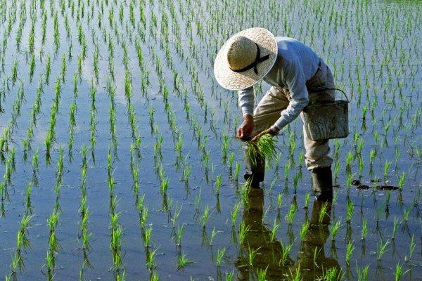 شرایط مناسبی در تامین آب کشت برنج نداریم