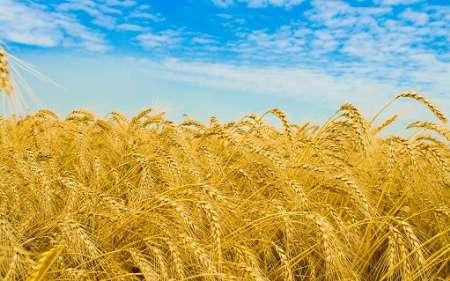 اهواز نیاز مبرم به چهار سیلوی ۲۰ هزار تنی جدید گندم دارد