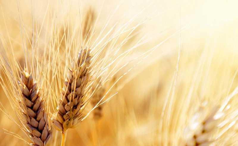 پایان خرید گندم در خوزستان/ خرید یک میلیون و ۳۰۲ هزار تن گندم