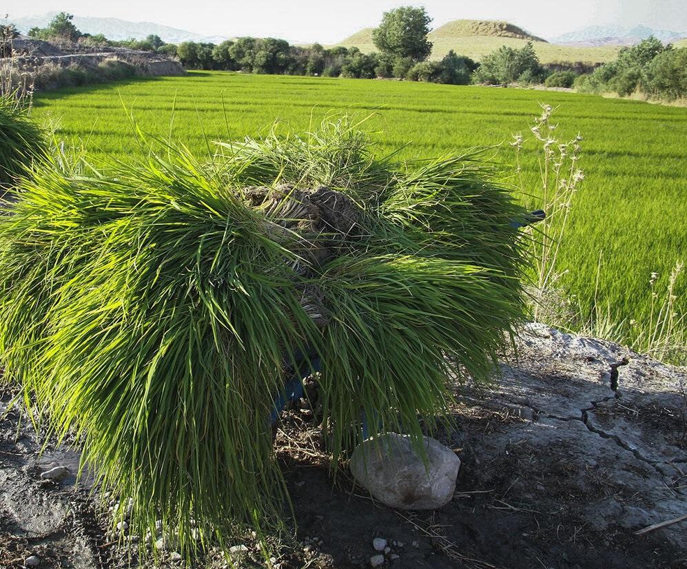 کشت برنج در شالیزارهای ایذه