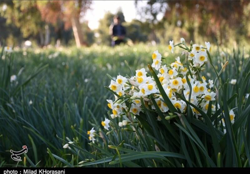 نرگس بهبهان حال و روز خوبی ندارد / گلهایی که در سایه بیتدبیری مسئولان پژمرده میشوند