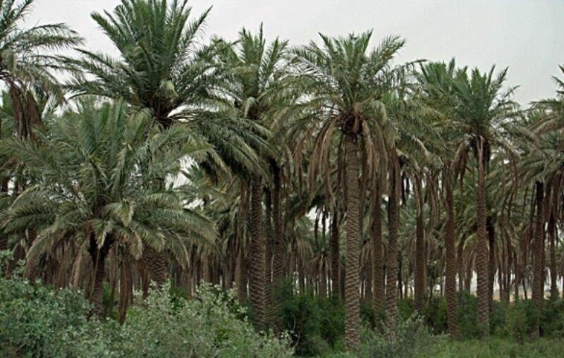 بلای سرطان خرما به جان نخلستانهای خوزستان